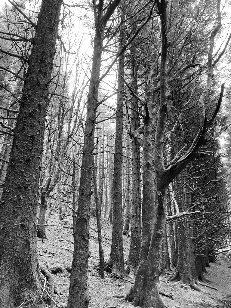 A line of forest trees in black and white