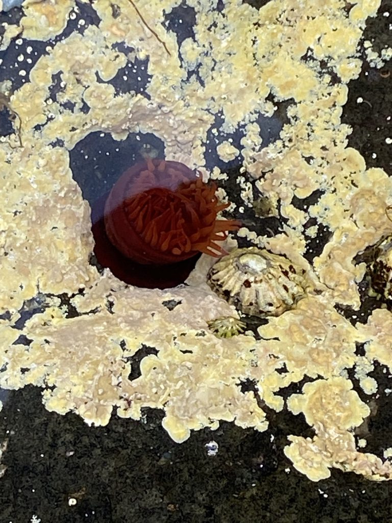 Sea Anemone in a rock pool as seen on one of day walks in Skye