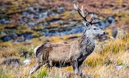 A stag with large antlers stood on moorland.