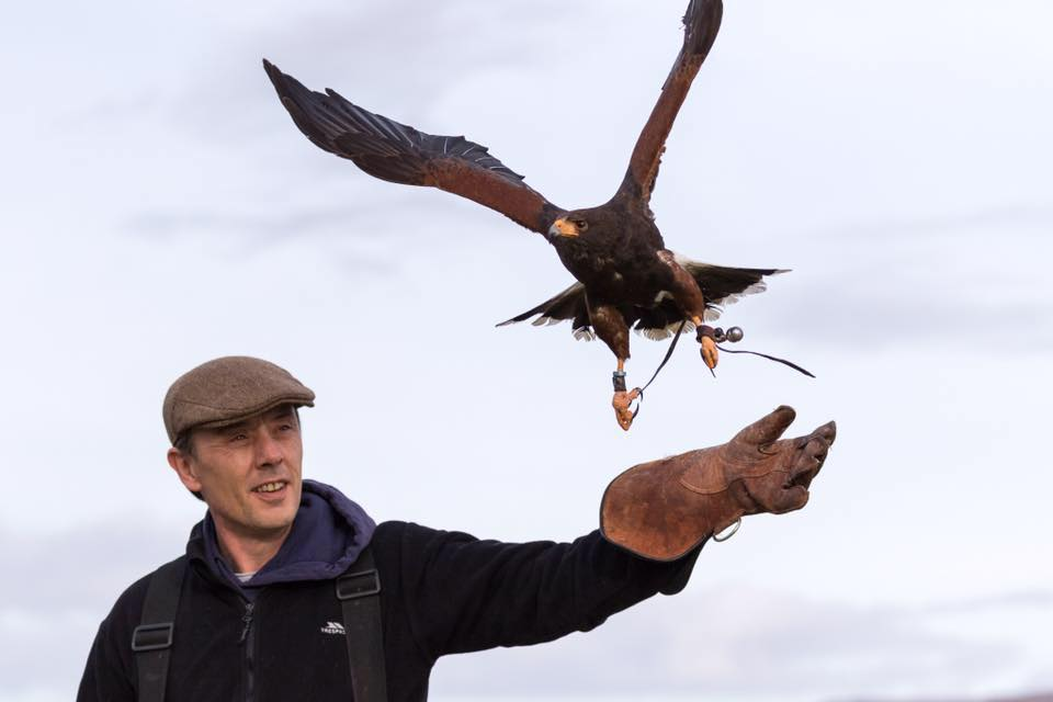 A hawk in flight having just left the gloved hand on its' keeper, its' wings outstretched
