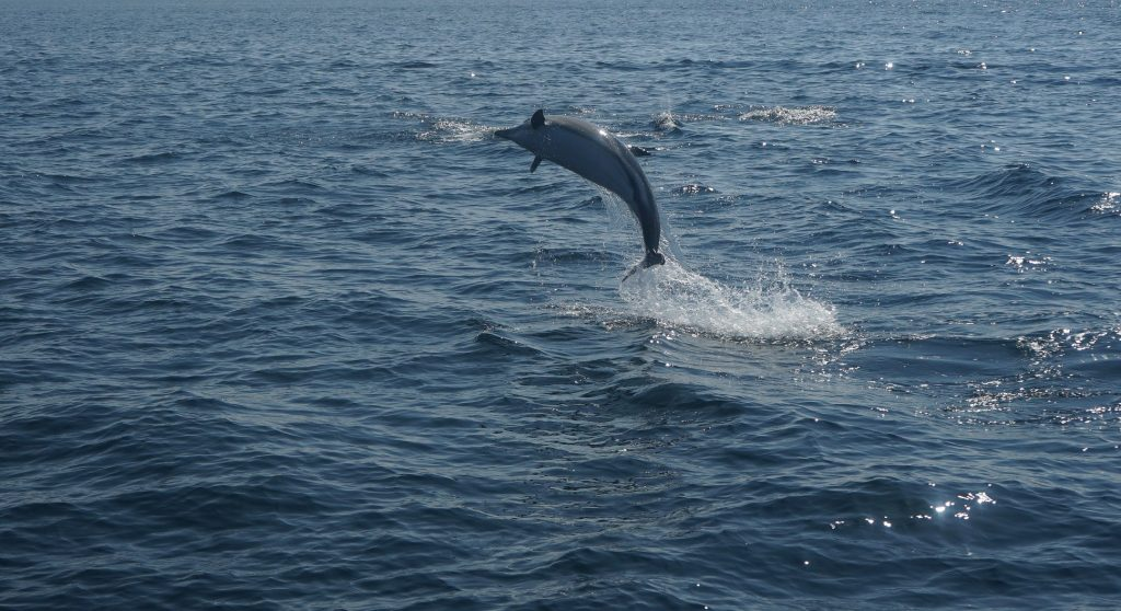 A dolphin leaping out o the sea