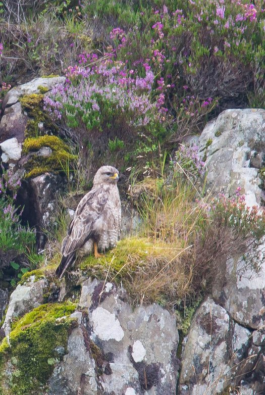 A hawk sat on a rock with purple heather behind it.
