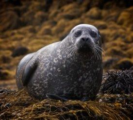 A seal lying on seaweed.