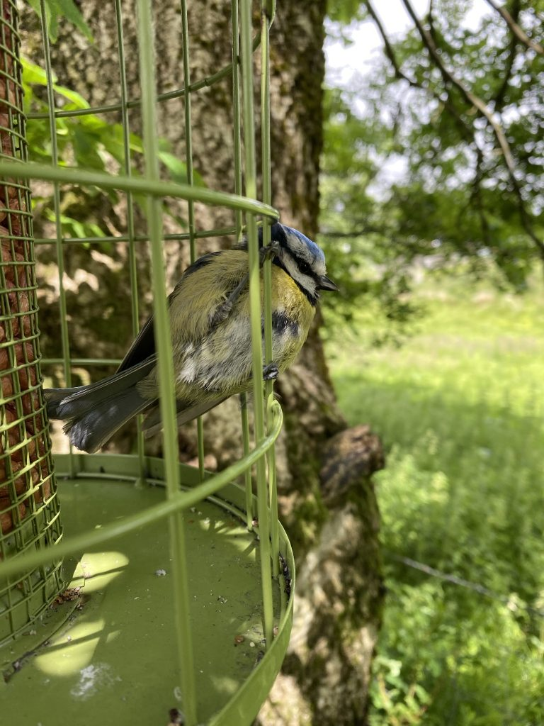 5 of the top birds you will find blue tit